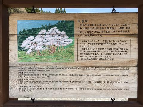 1174-臥龍桜の説明