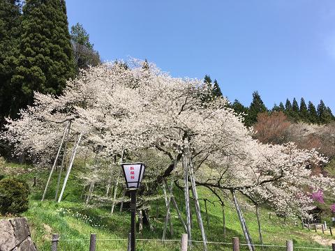 1175-臥龍桜