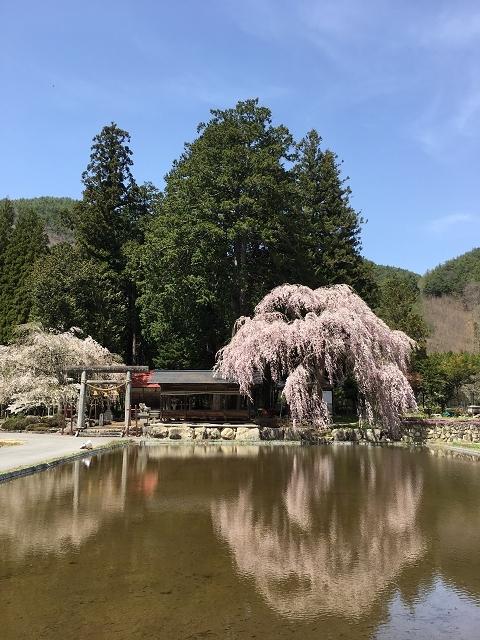 1178-青屋神明神社の枝垂れ桜