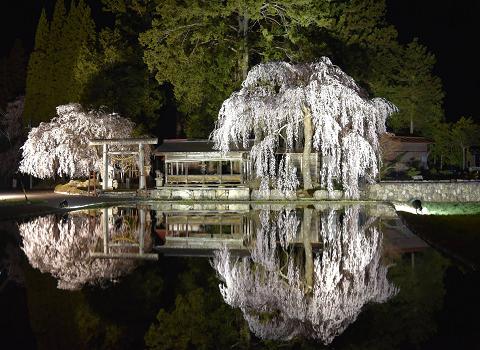1179-枝垂れ桜のライトアップ