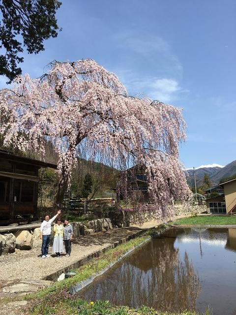 1180-枝垂れ桜と乗鞍岳