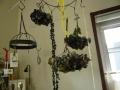 ナンフェア ドライ紫陽花