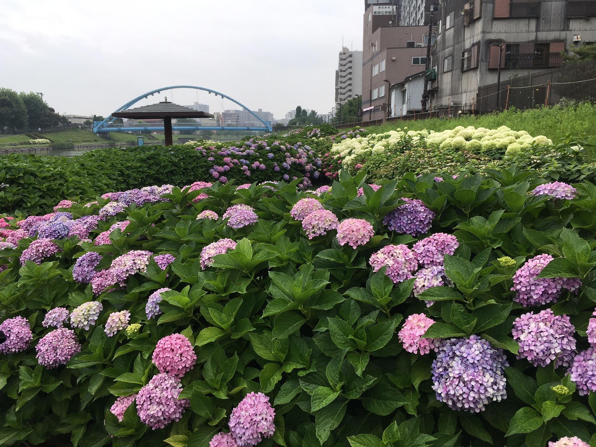 旧中川のアジサイ①