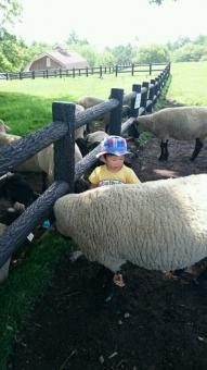 こばぶ羊たちと戯れる