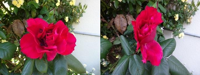我が家の赤いバラ
