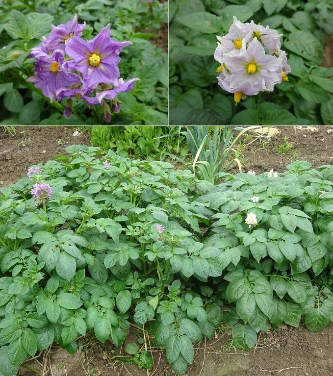 ジャガイモの花二種類