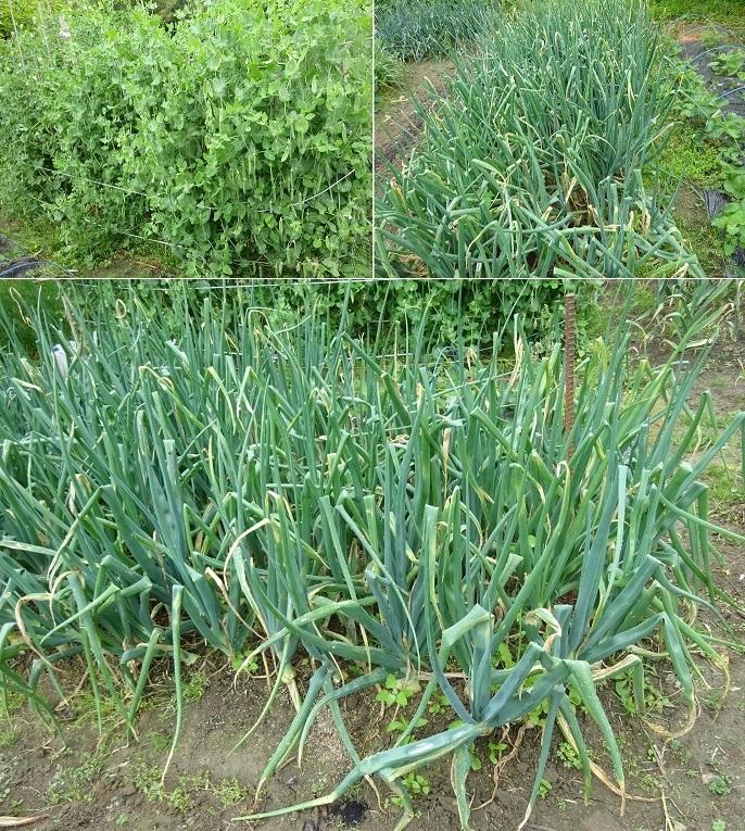 収穫中のスナックエンドウと玉葱