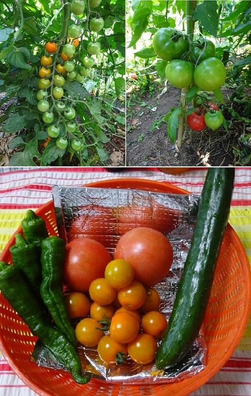 トマト他収穫