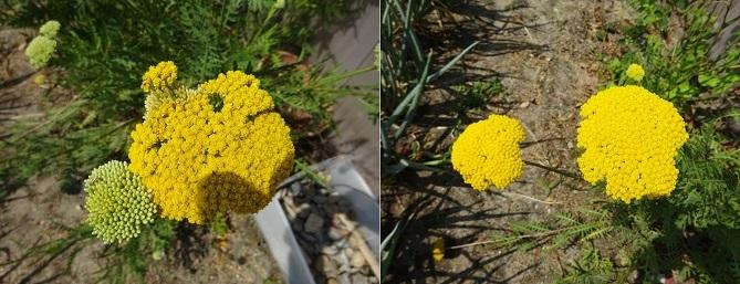 丸いモコモコな黄色い花