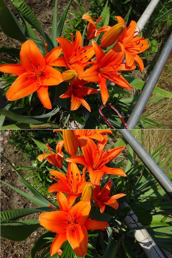 真っ赤なユリの花2