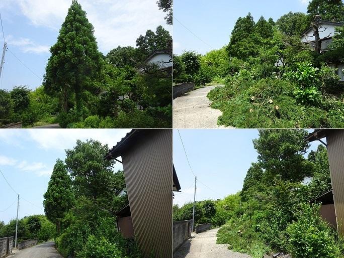杉の木の伐採3