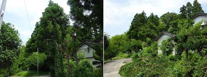 杉の木の伐採4