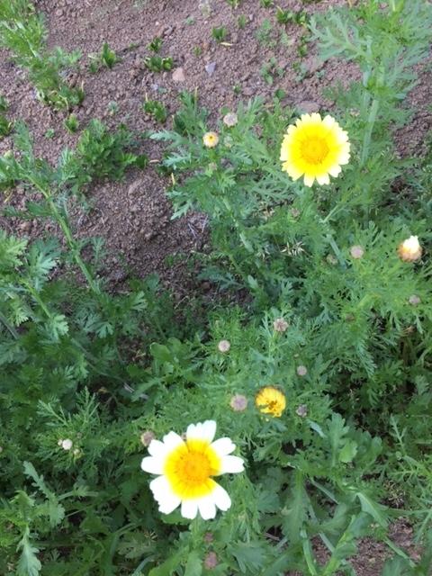 0430春菊2