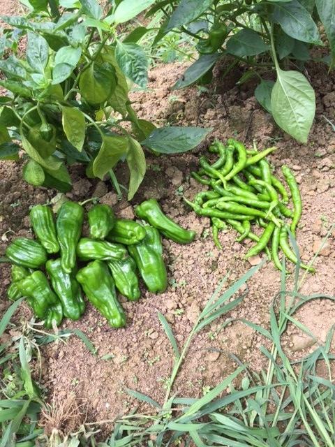 0703収穫1