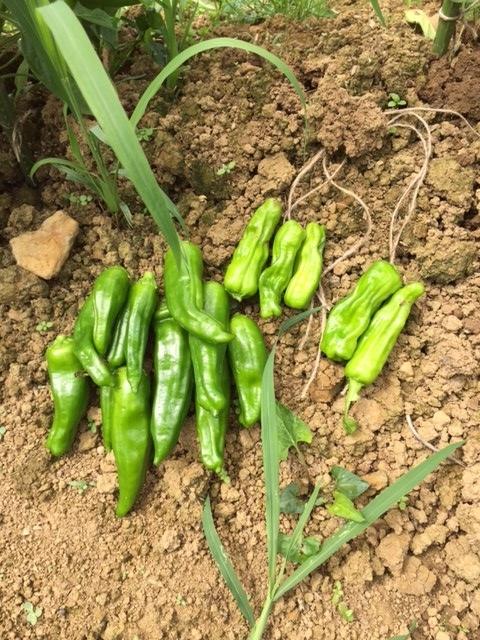 0703収穫2