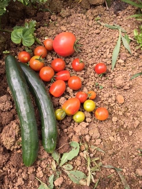 0703収穫4