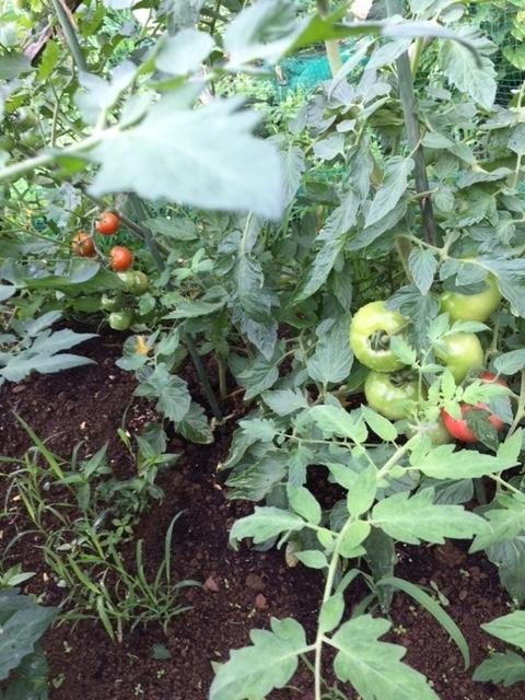 0705トマト2