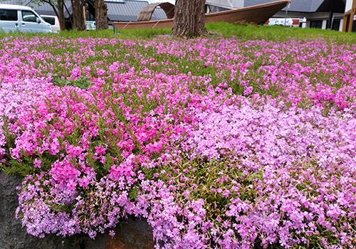 H29芝桜1