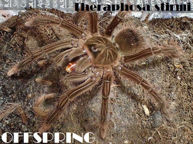 Theraphosa stirmi201684532