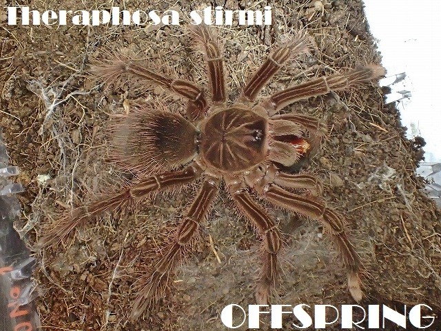 Theraphosa stirmi2016241899