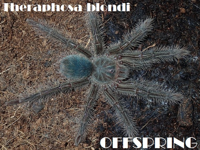 Theraphosa blondi 201625443