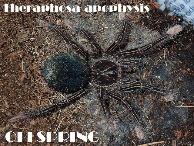 Theraphosa apophysis201632589