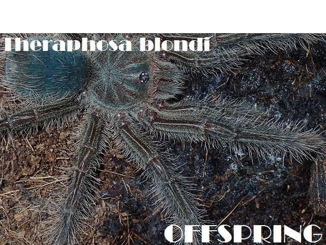 Theraphosa blondi 20168951441