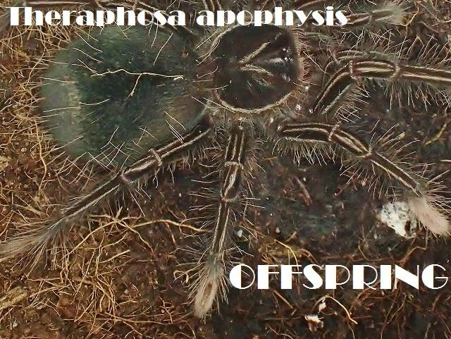 Theraphosa apophysis20161584233