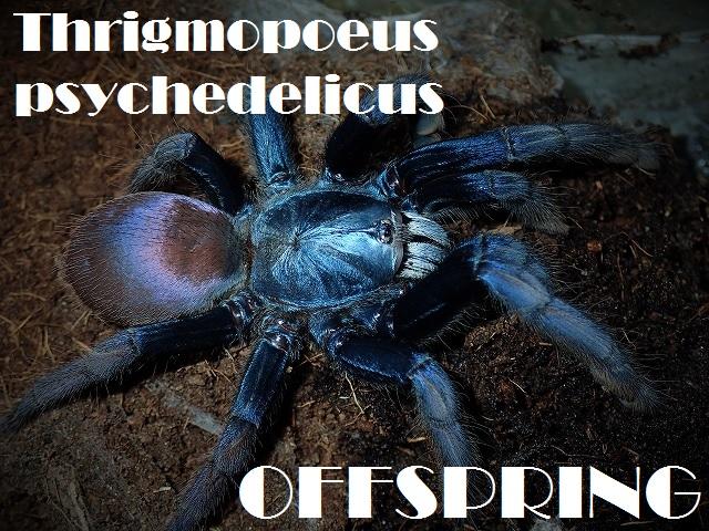 Thrigmopoeus psychedelicus 615428