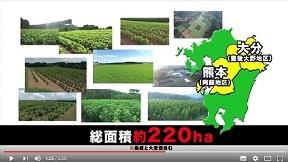 丸山農園 桑の苗木 年間500000本生産可能
