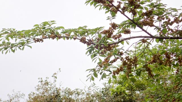 ハルニレの枝(翼果)