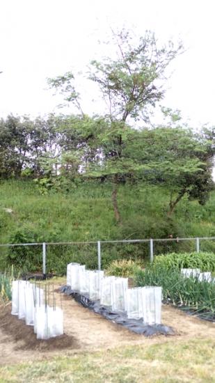 畑とハルニレ