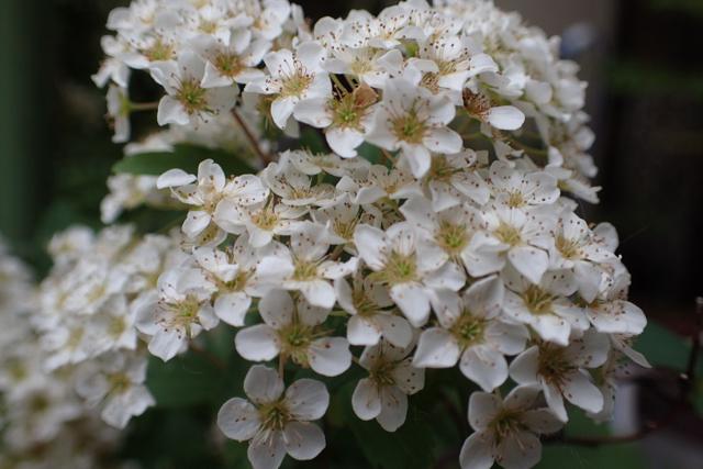 コデマリ花
