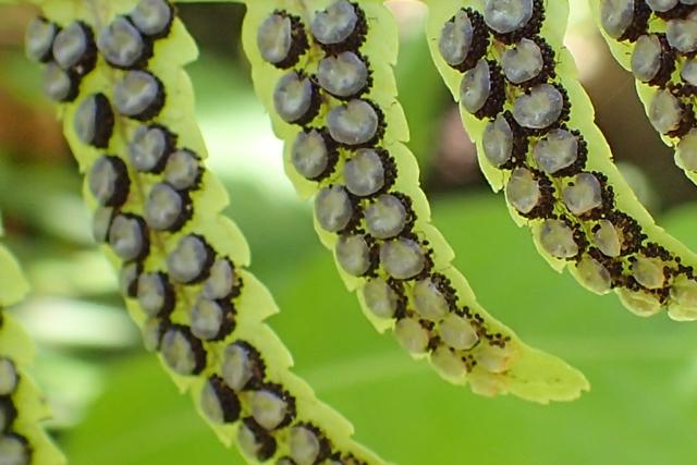 シダの胞子葉1