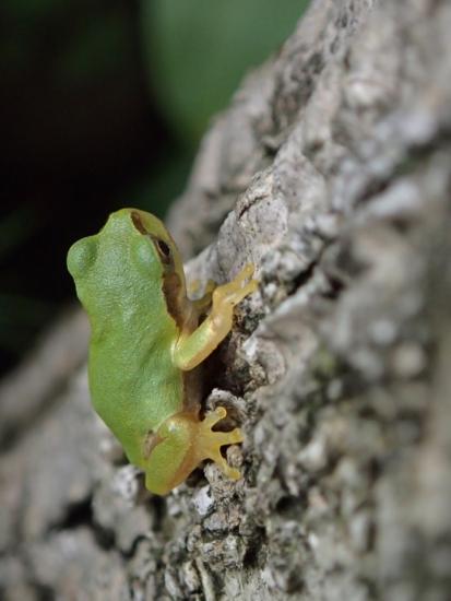 アマガエル 幼体 1