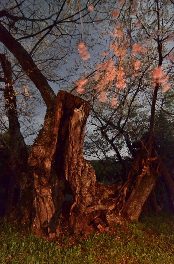 山王の桜 042-2gs