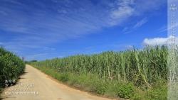 さとうきび畑,壁紙,デスクトップカレンダー,沖縄