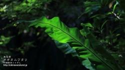 沖縄,植物,壁紙,南国,オオタニワタリ