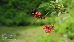 沖縄,植物,壁紙,南国,テイキンザクラ,ナンヨウザクラ