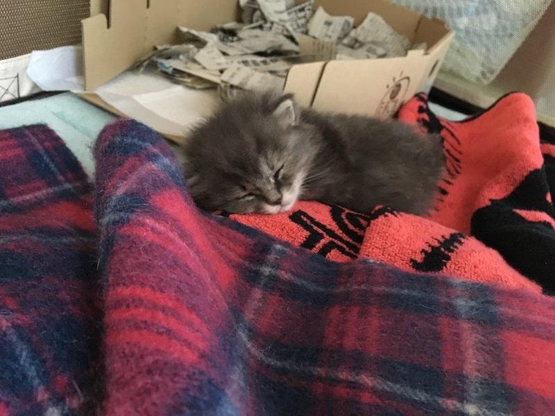 犬のソフトクレーとの中にマフラーとバスタオルを敷き詰めた簡易ベッドで寝る生後3週間の子猫