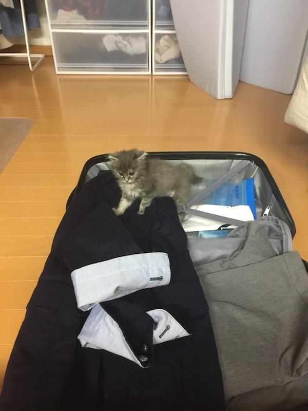 お父ちゃんのスーツケースの中を物色中の保護猫ちゃん