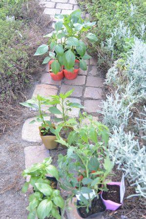 パプリカ、大葉、バジル、ミニトマト
