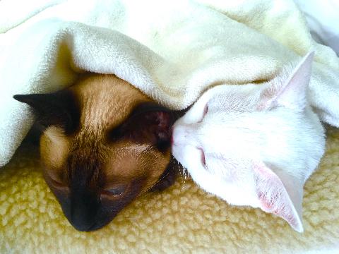 温玉★とろ玉 毛布猫