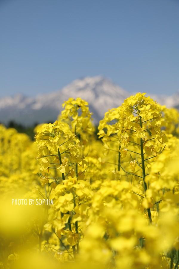 季節外れの菜の花2_Ⅱ