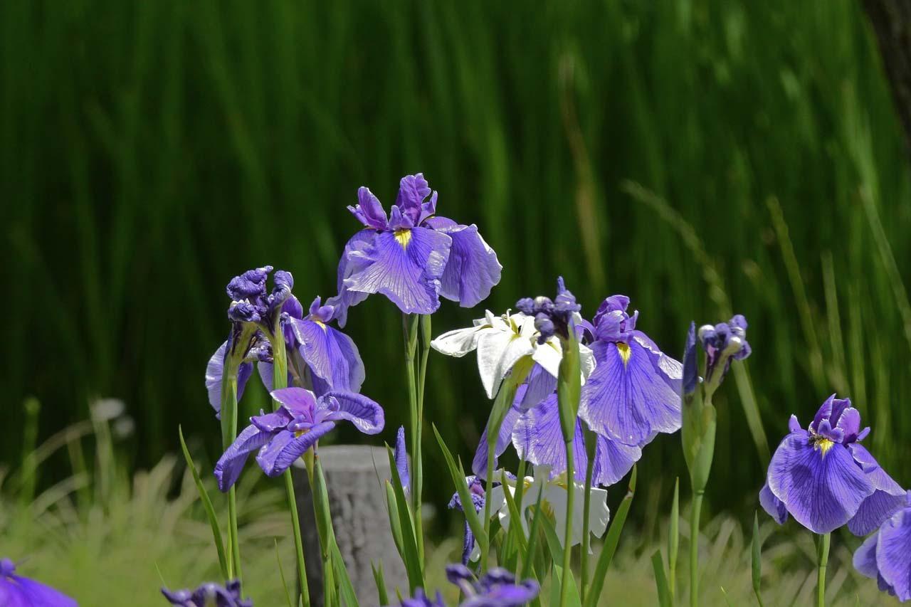 _DSC3135初夏の花