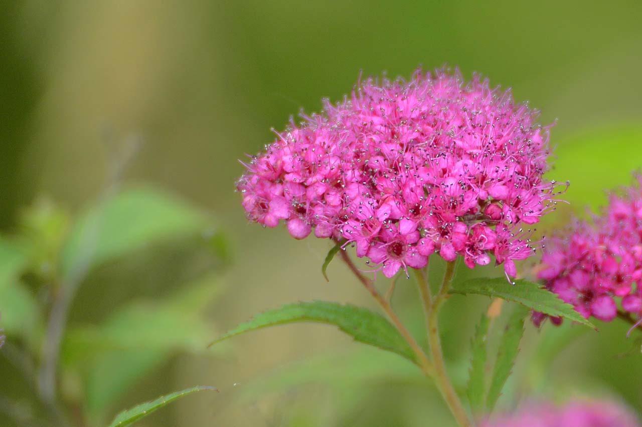 _DSC4001初夏の花