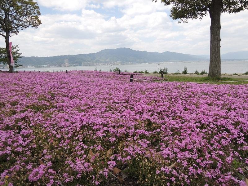 芝桜とびわ湖