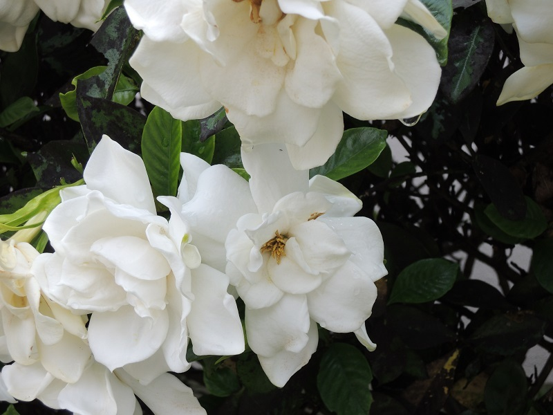 くちなしの花 その2