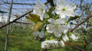 4月山錦花