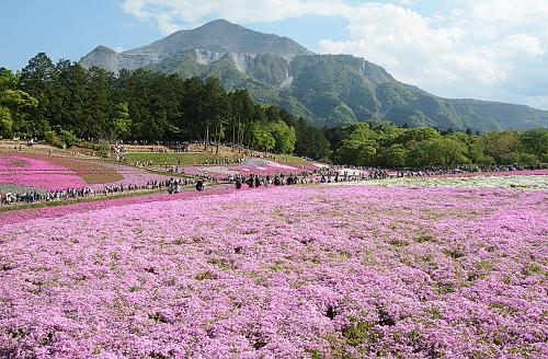 芝桜blog1